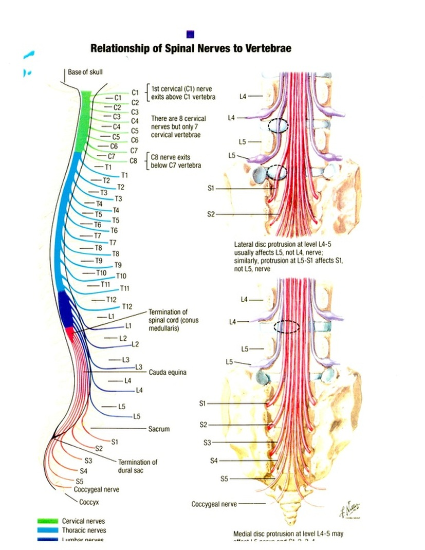 the spinal cord brent 39 s recovery : spinal cord diagram - findchart.co